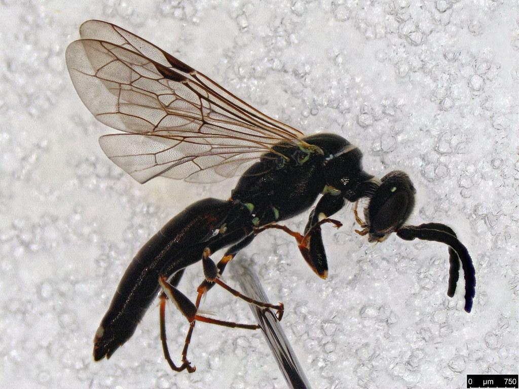 50 - Hymenoptera sp.