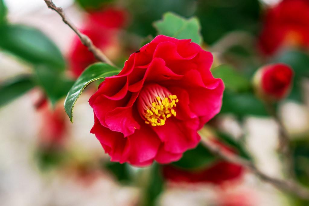 Red Camellia : 紅い椿