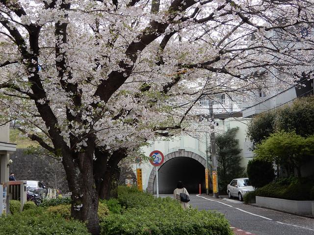 桜の六郷用水~桜坂