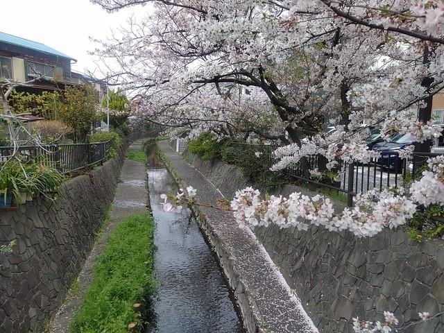 桜の二ヶ領用水(平間~武蔵小杉)