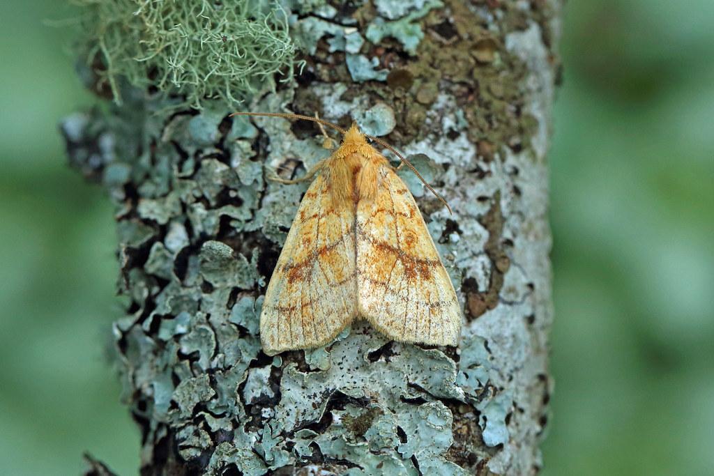 73.179 Orange Sallow (Tiliacea citrago), Tillywhally Wood, Perthshire