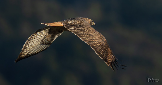 Dark-morph Red-tailed Hawk (Buteo jamaicensis calurus)