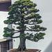 hinoki false cypress 59
