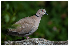 Collared Dove - Red eye