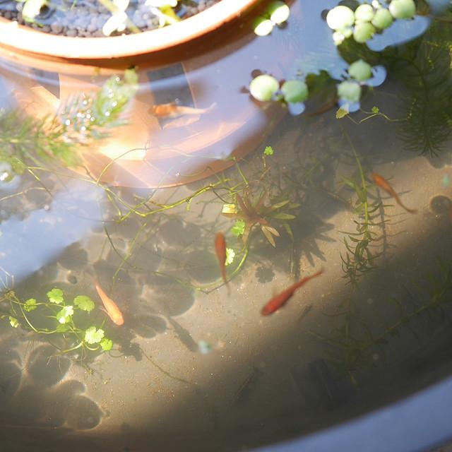 ビオトープの水が濁って透明にならない