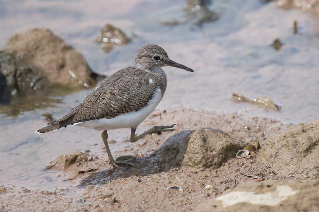 210329 - Common Sandpiper (矶鹬)