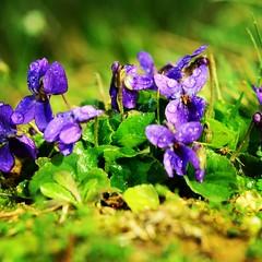 Pensu00e9e sauvage au petit matin Je pense u00e0 vous #pensu00e9e #pansy #violadelpensiero #stiefmu00fctterchen #fleursauvage #wildeblumen #fioreselvatico #wildflowers #igersalsace #alsacemylove #alsace #alsaceinlove #thoughts #pensieropositivo #violet #viola #purple #li
