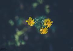 Daisies (3)
