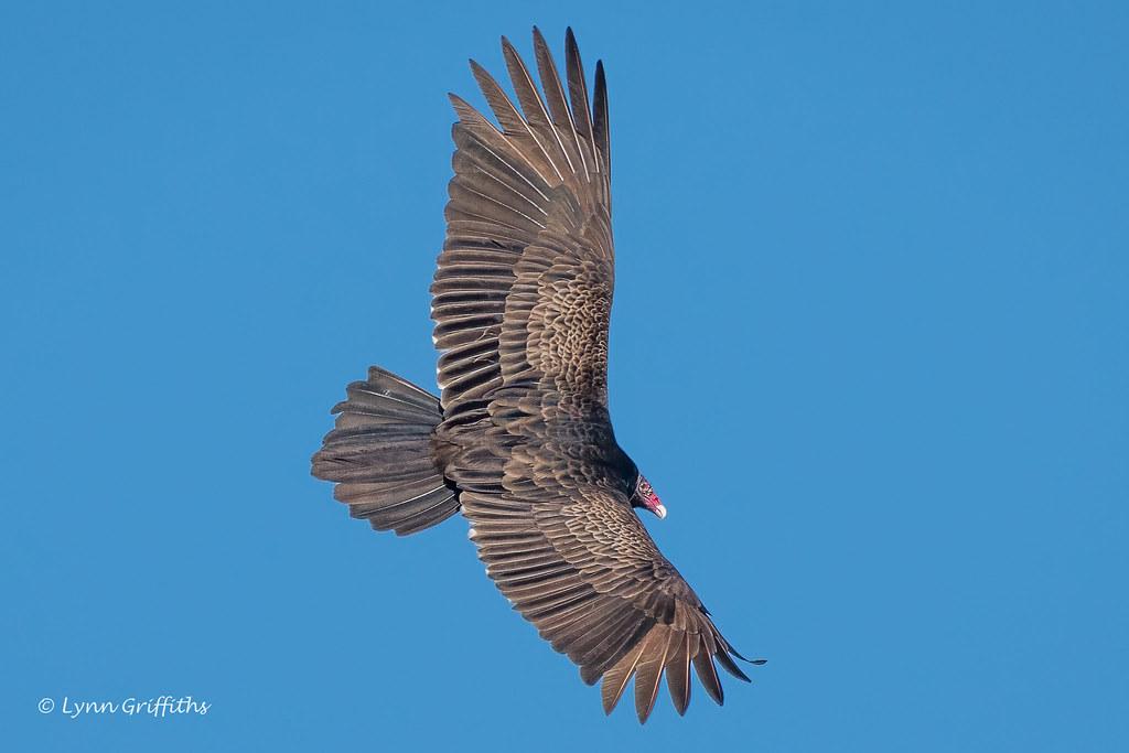 Turkey Vulture 502_5462.jpg