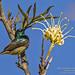 Souimanga_Sunbird_WEB_2U6A2331