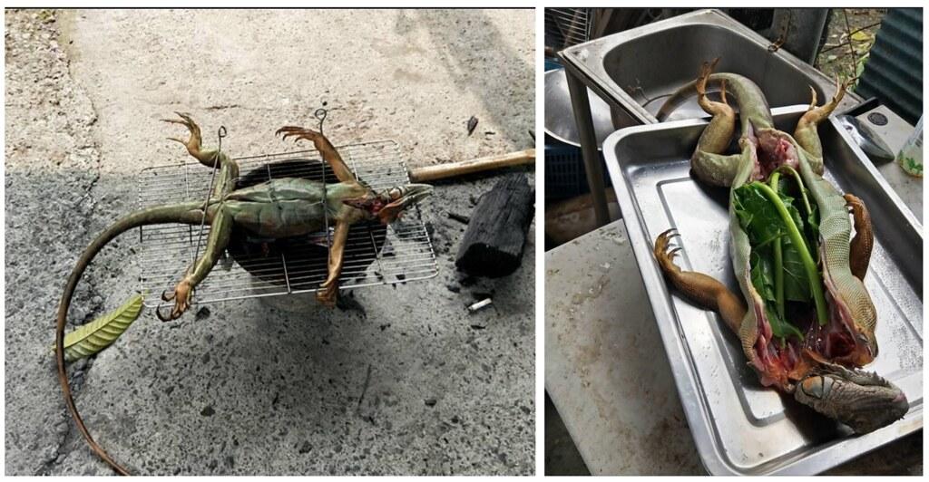 有民眾食用綠鬣蜥,將活體開膛剖肚等。照片提供:台灣動物社會研究會
