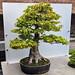 acer buergeranium - trident maple