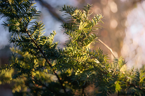 tree greenery plant leaves foliage outside outdoors evening sunny goldenhour sunset light shadow contrast nature rockville maryland md twinbrook neighborhood sky blue bokeh manuallens vintage old soviet russian zenit helios 442 58mm prime sony alpha a7riii ilce7rm3 fullframe emount mirrorless photography walk hike stroll winter march