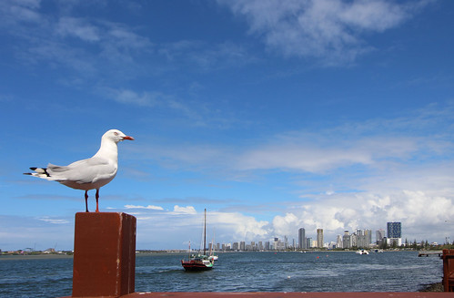 bird gull silvergull perch white grey silver blue green boat vessel sailing anchored water pacificocean buildings towers southport surfersparadise goldcoast dof deep post sky wildlife nature clouds view composition autumn queensland australia aussie black brown