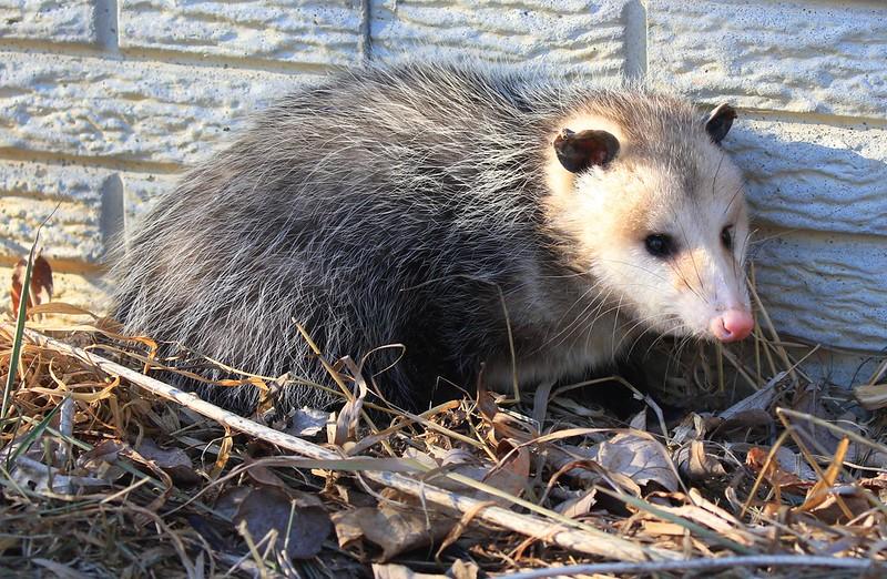 Virginia opossum at Lake Meyer Park IA 653A7215