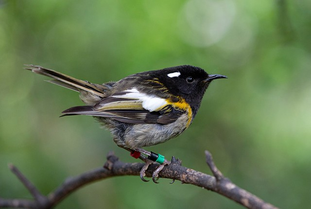 Hihi - Stitchbird (Male)