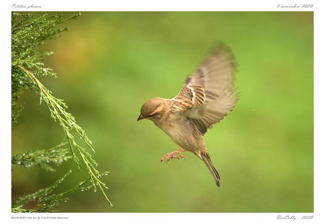 Le moineau | Sparrow