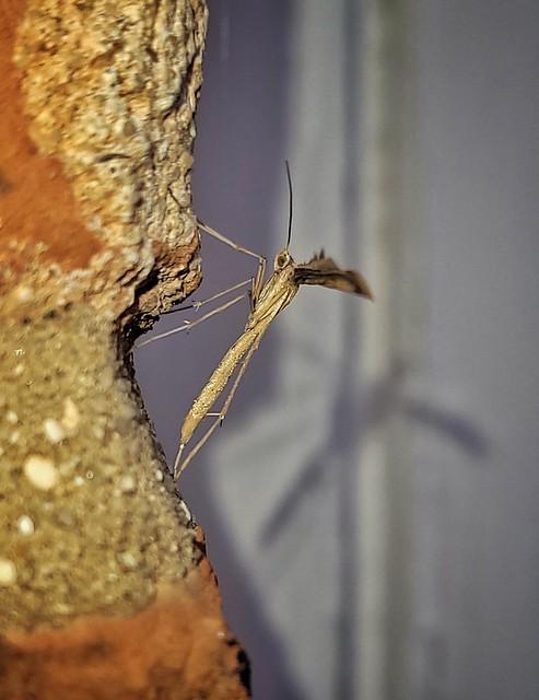 Emmilena Monodactyla