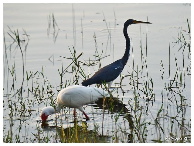 Ibis and Heron, Lake Mary Florida --905