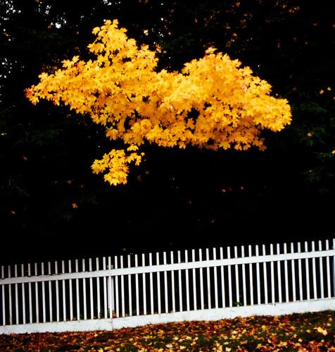One Deciduous Tree Among Evergreens