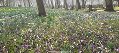 3rd March 2021. Croci and Daffodils in the Southern Cemetery, Chorlton,