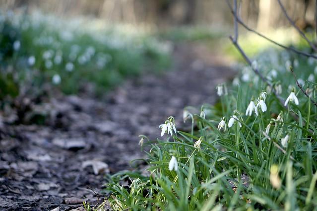 Snowdrops path