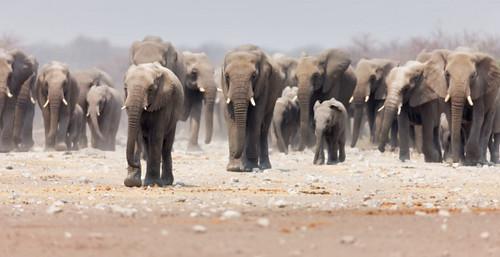 El rol social de los veteranos,... entre los elefantes