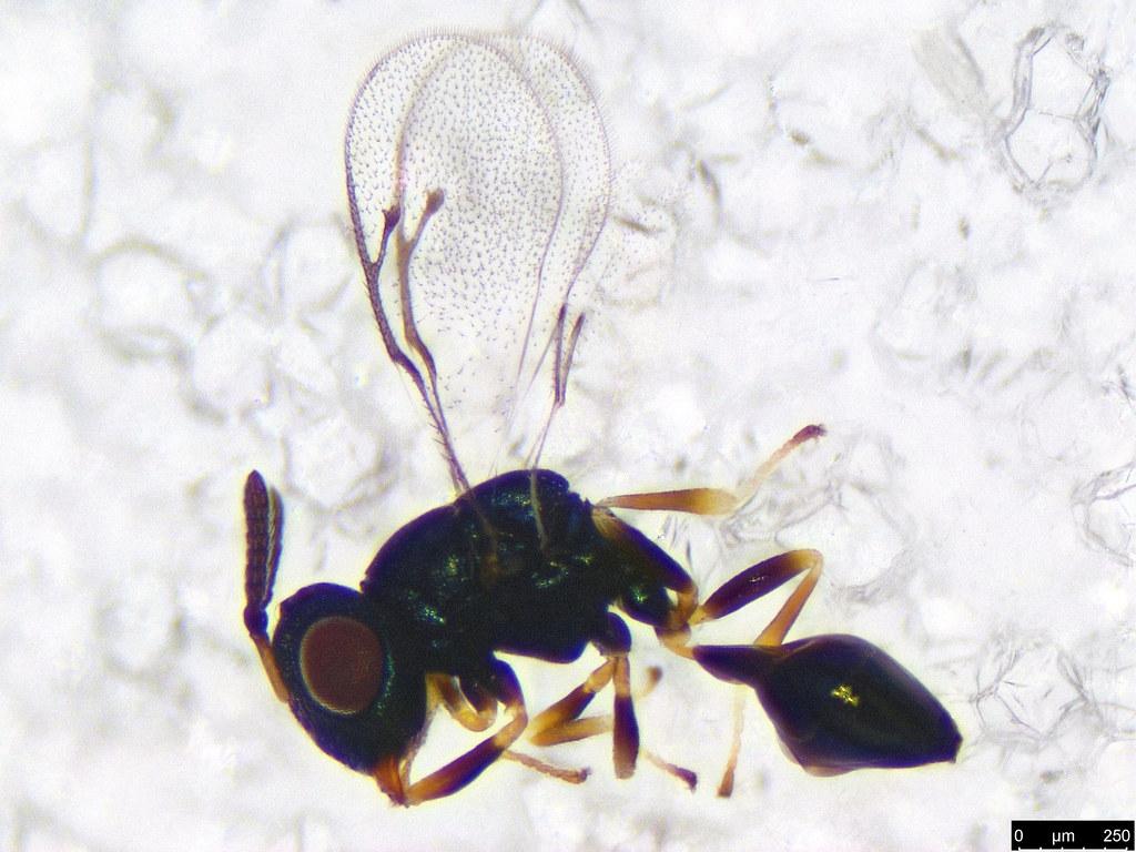 42 - Chalcidoidea sp.
