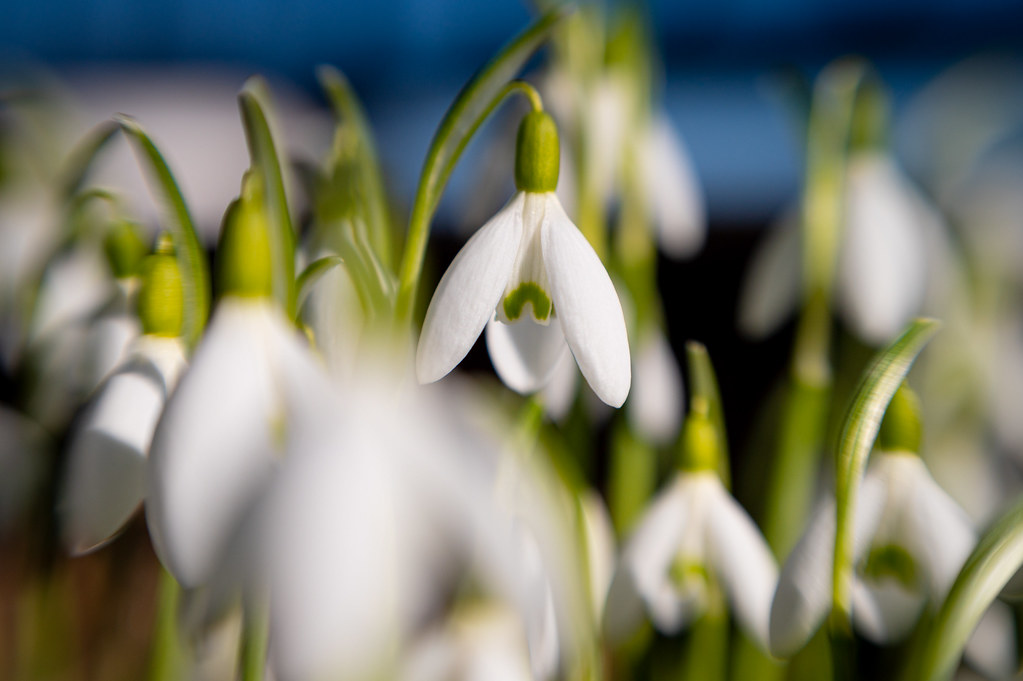 A family of snowdrops