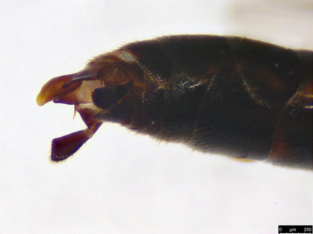 51b - Hymenoptera sp.