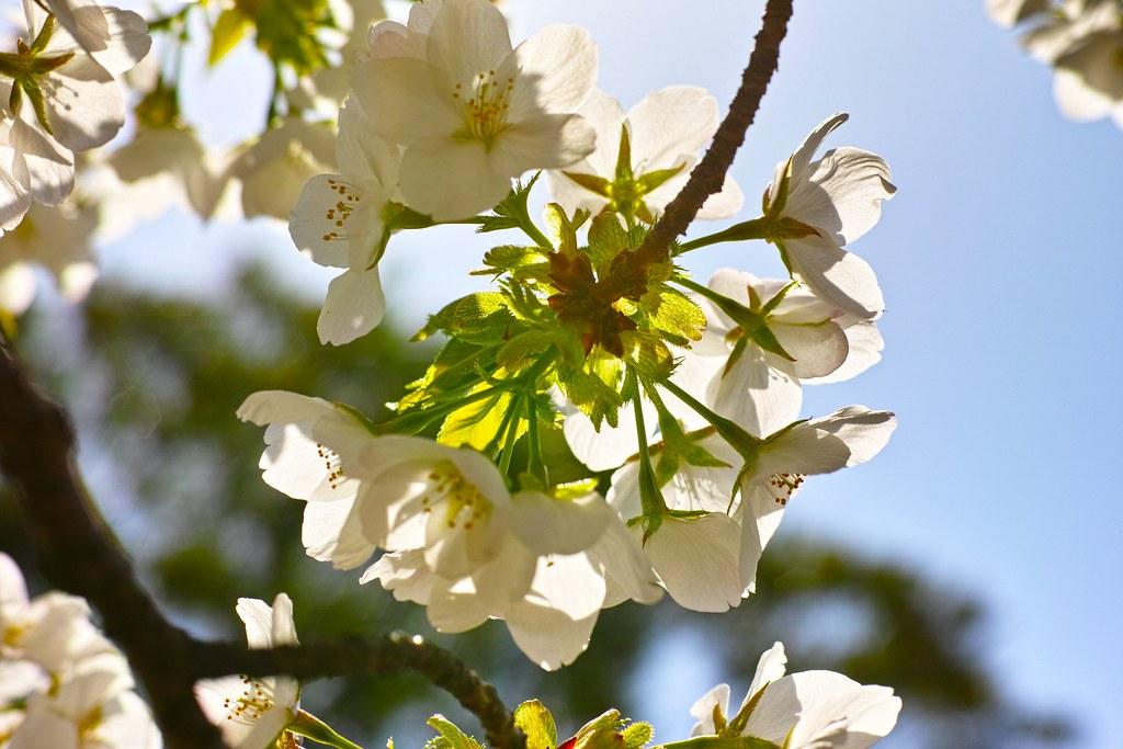 新宿御苑の桜 オオシマザクラ