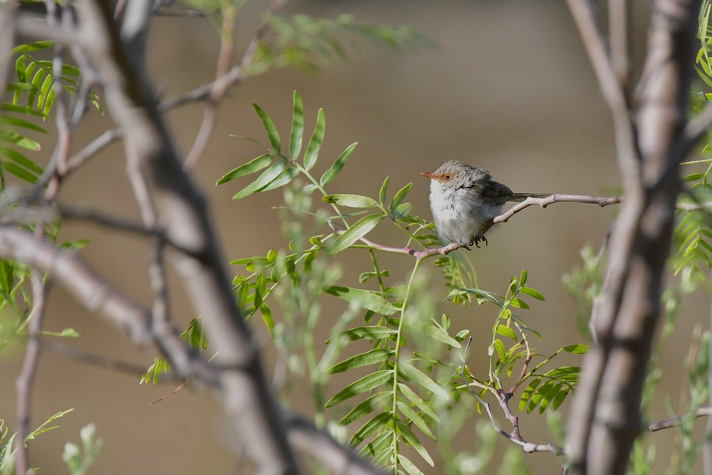 Superb Fairy-wren ( enjoy a little sunshine )