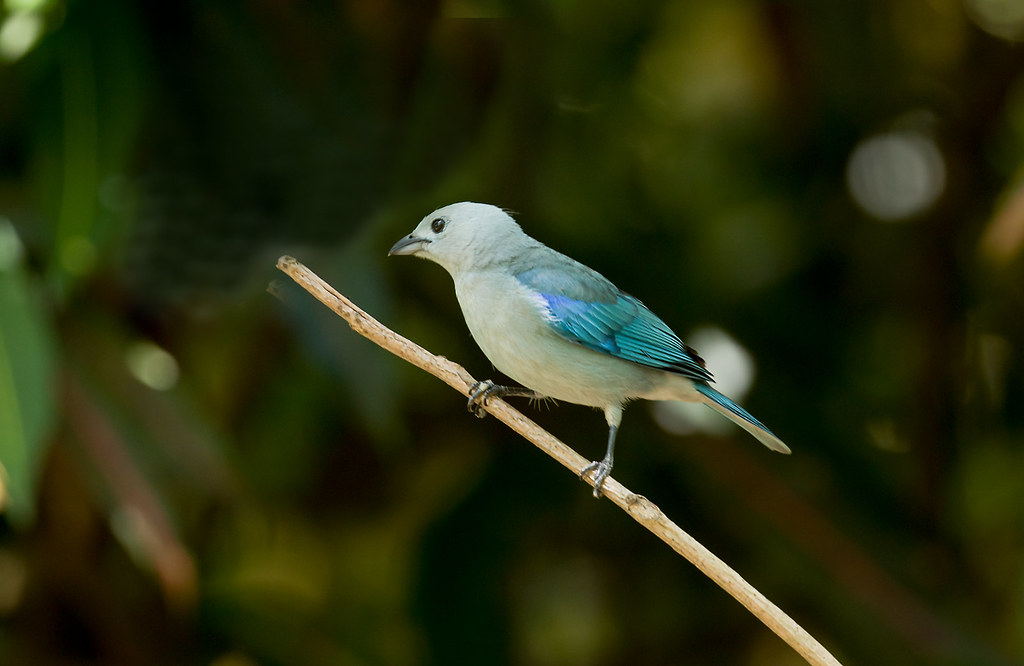 0P7A9169   Blue-gray Tanager, Panama