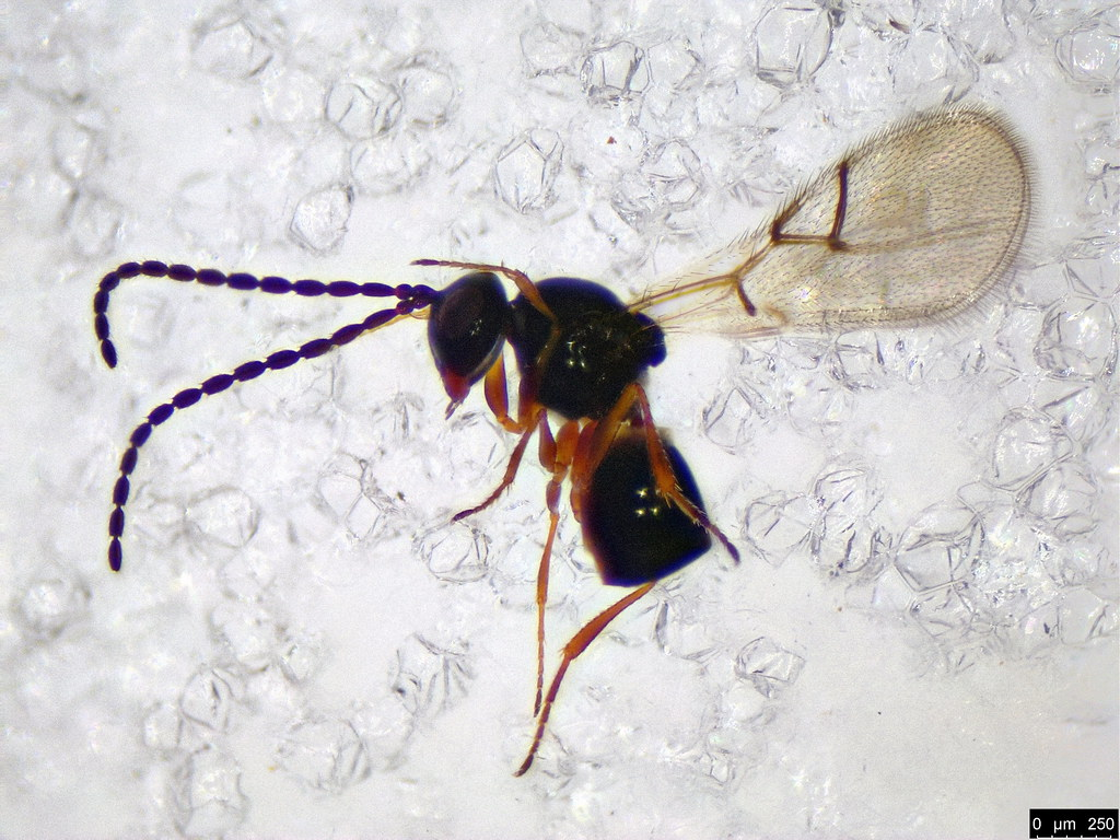 34 - Cynipoidea sp.