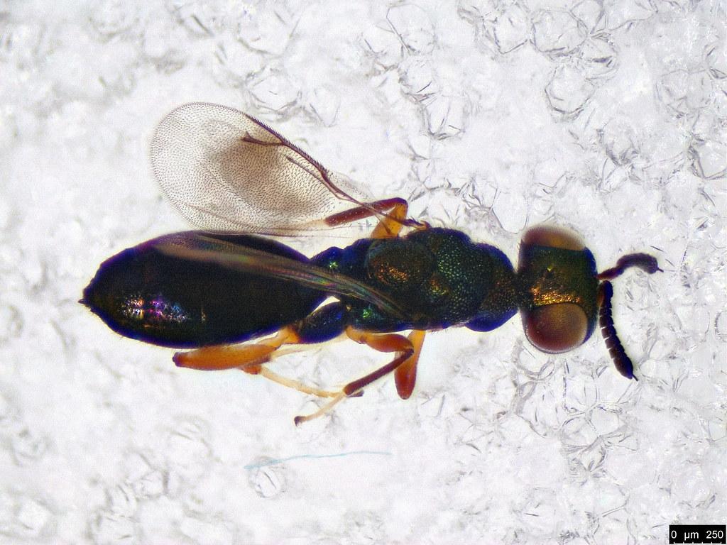 41b - Eulophidae sp.
