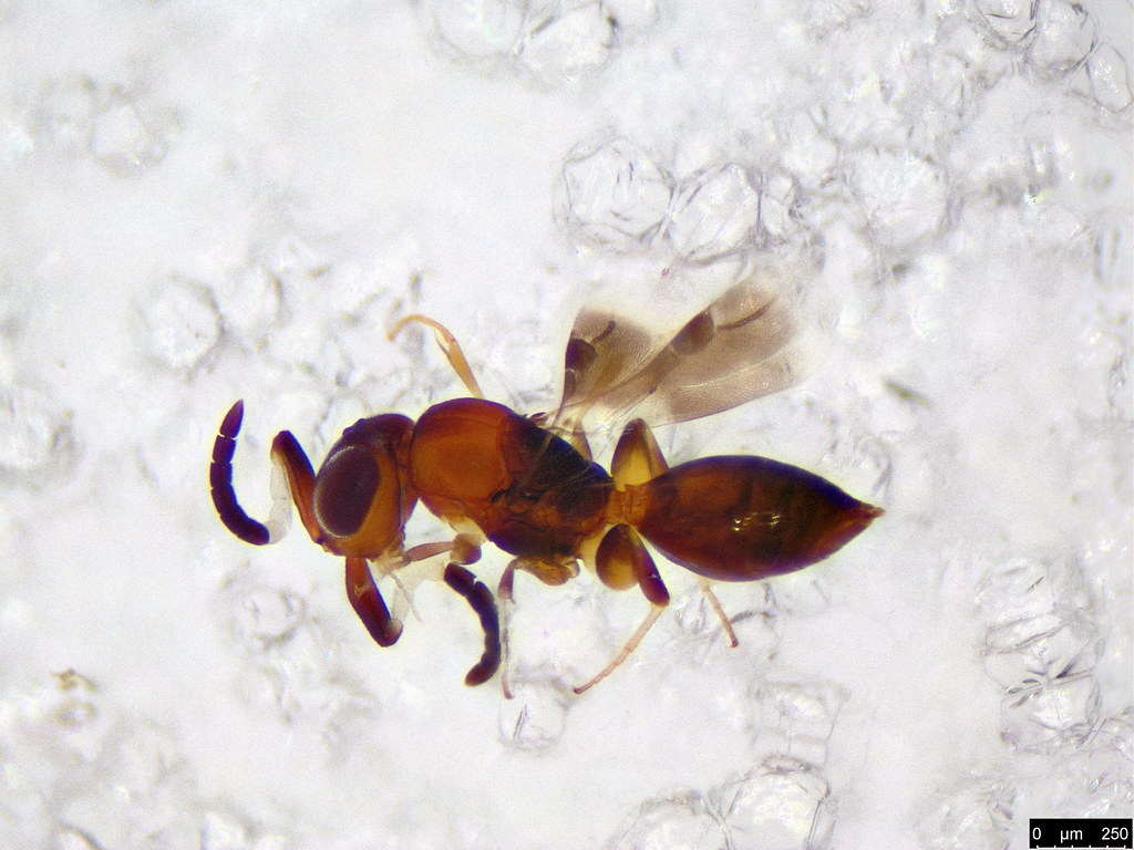 43 - Platygasteroidea sp.