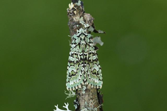 73.224 Merveille du Jour (Griposia aprilina), Tillywhally Wood, Perthshire