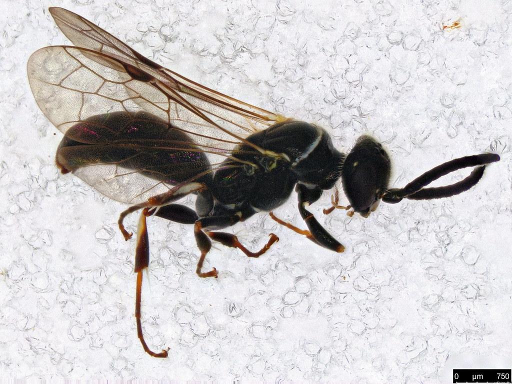 48 - Hymenoptera sp.