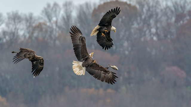 Bald Eagle x3 2