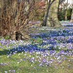 Spring crocus flowers at Haslam Park