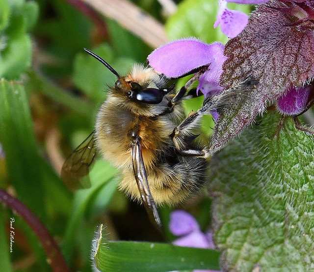 Hairy-footed Flower Bee (Anthophora plumipes) male on Red Dead-nettle
