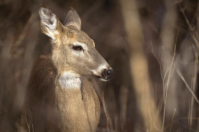 Morning Deer, Portrait
