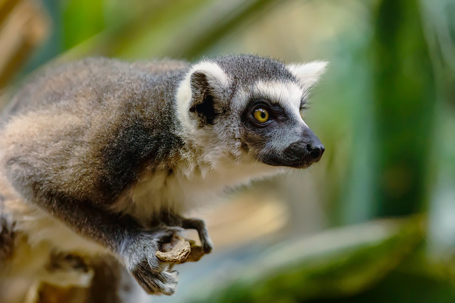 Ring-tailed Lemur (Bronx Zoo)