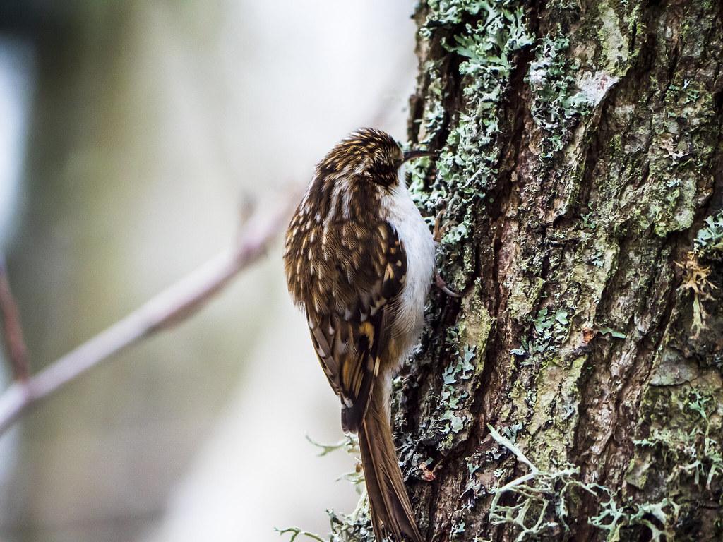 Creeping treecreeper