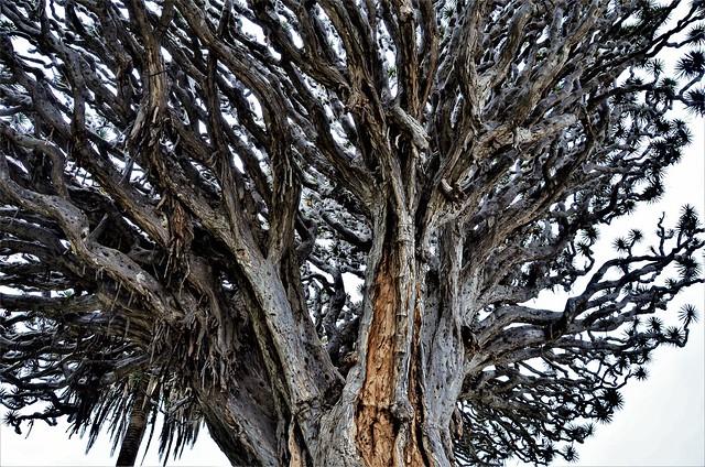 Tenerife - Icod de los Vinos - El Drago Milenario - Detalle