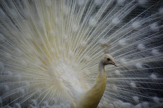 Paon blanc _8792