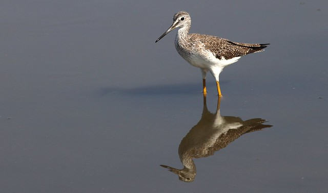 Greater Yellowlegs / Grand Chevalier ( Diane )