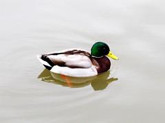 Cool Duck. Mimico Creek, Toronto