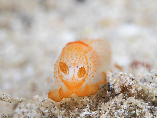 Orange-spotted Gymnodoris - Gymnodoris alba