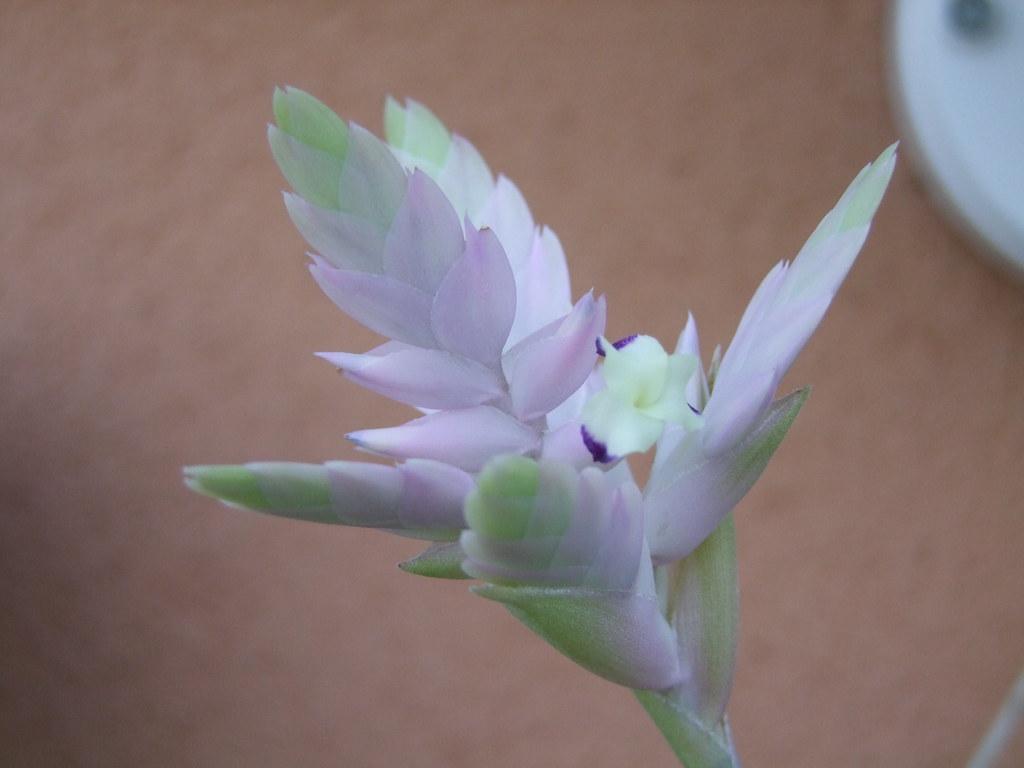 Tillandsia cacticola